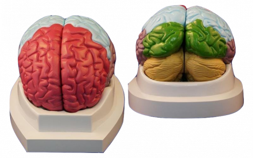 Модель функциональных зон коры головного мозга