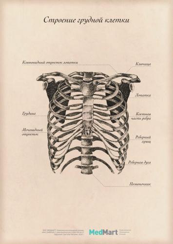 """Плакат информационный """"Строение грудной клетки """" A2, ламинированный"""