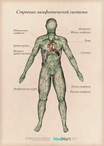"""Плакат информационный """"Строение лимфатической системы"""" A2, ламинир."""