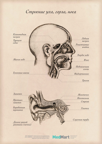 """Плакат информационный """"Строение уха, горла, носа"""" A2, ламин."""