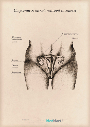 """Плакат информационный """"Строение женской половой системы"""" A2, ламинир."""