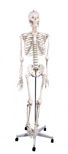 Модель скелета человека в натуральную величину