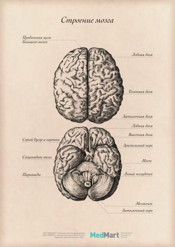 """Плакат информационный """"Строение мозга"""" A2, ламинированный"""