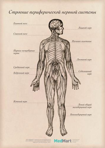 """Плакат информ. """"Строение периферической нервной системы"""" A2, ламинир."""