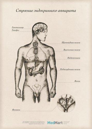 """Плакат информационный """"Строение эндокринного аппарата"""" A2, ламинир."""