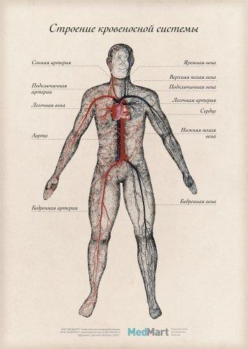 """Плакат информационный """"Строение кровеносной системы"""" A2, ламинированный"""