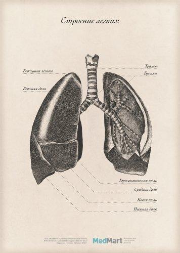 """Плакат информационный """"Строение лёгких"""" A2, ламинированный"""