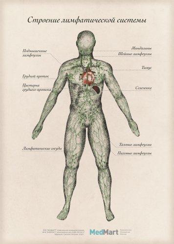 """Плакат информационный """"Строение лимфатической  системы"""" A2, ламинированный"""