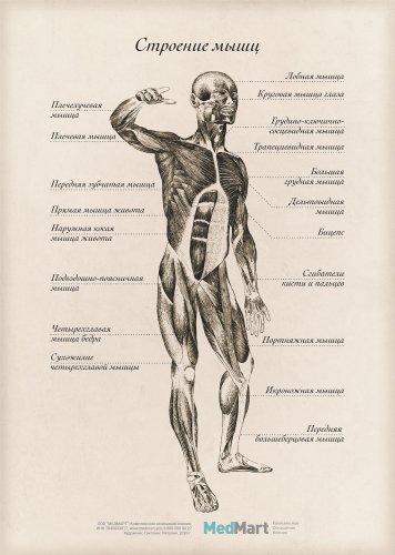 """Плакат информационный """"Строение мышц"""" A2, ламинированный"""