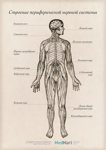 """Плакат информ. """"Строение периферической нервной системы"""" A2, ламин."""