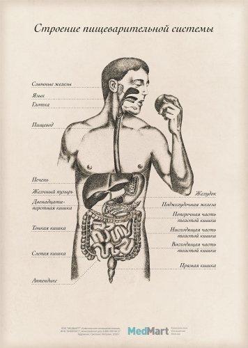 """Плакат информационный """"Строение пищеварительной системы"""" A2, ламинир."""