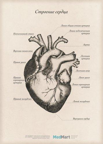 """Плакат информационный """"Строение сердца"""" A2, ламинированный"""