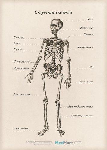 """Плакат информационный """"Строение скелета """" A2, ламинированный"""